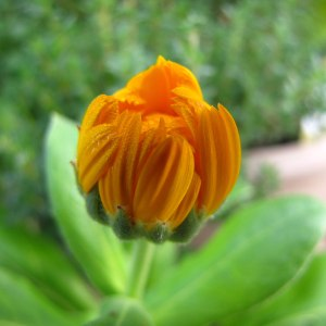The miraculous unfolding of a Calendula blossom